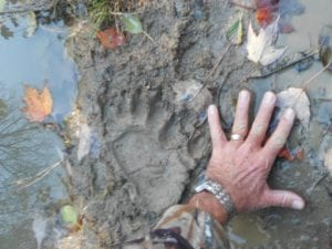 Karen Phillips, of Neon, used her husband's hand for size comparison of the bear paw print pictured to the left of his hand. The paw print measured eight and a half inches wide and about the same in length.